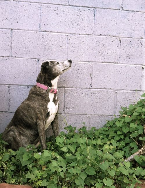 August 24: With little hope of regaining her back yard real estate, Velma takes to sitting in the onion/morning glory patch.
