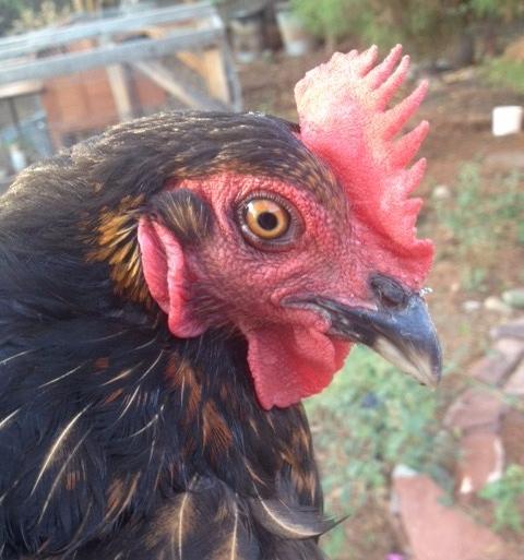 devil-chicken.jpg